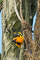 561820061 a wild adult altimara oriole icterus gularis perches on its pendulus hanging nest on a succulent plant in tamaulipas state mexico