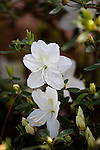 Azalea, Rhododendron x 'IRISH CREME', at Mercer Arboretum and Botanical Gardens in Spring, Texas.