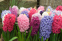 Spring Bulbs Stock Photos