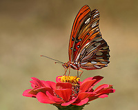 The wings of the Gulf Fritillary butterfly are like stained glass, artfully designed to maximize the beauty and light in any garden.