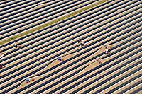Spargelernte: EUROPA, DEUTSCHLAND, NIESDERSACHSEN, (EUROPE, GERMANY), 24.04.2009: Spargel,  Spargelfeld, Feld, Spargelstechen, Stechen, Ernte, Landwirtschaft, Helfer, Polen, osteuropaeische Erntehelfer, polnische Erntehelfer, Planen auf dem Feld,  Luftbild, Luftansicht Luftbild, Luftbilder, Luftaufnahme, Luftaufnahmen, Uebersicht, Ueberblick, Vogelperspektive,  Europa, Deutschland,Mecklenburg- Vorpommern, Zarrentin,  Spargel, Spargelfeld, Spargelfelder, stechen, Spargelstechen, Ernte, Landwirtschaft, Feld, Felder, Acker, Erntehelfer, osteuropaeische, polnische, Plane, Planen,  ernten, Gemuese, Spargelgemuese, Saison, Spargelsaison, Anbau, Arbeit, Arbeiter, arbeiten # acre, aerial photo, aerial photograph, array, arrays, asparagus, awning, blanket, blue-collar worker, building extension, chore, crop, europe, farming, field, fields, germany, harvest, harvest aid, harvests, husbandry, job, jobber, jobbers, labor, laborer, labour, labourer, labourers,  open country, pad, pads, pang, picking, polish one, rural economoy, season, stint, tarpaulin, to plan, to schedule, toiler, vegetable, vegetables, work, worker, workers, working man, workman, workmen, works, Aufwind luftbilder.c o p y r i g h t : A U F W I N D - L U F T B I L D E R . de.G e r t r u d - B a e u m e r - S t i e g  1 0 2,  .2 1 0 3 5  H a m b u r g ,  G e r m a n y.P h o n e  + 4 9  (0) 1 7 1 - 6 8 6 6 0 6 9 .E m a i l      H w e i 1 @ a o l . c o m.w w w . a u f w i n d - l u f t b i l d e r . d e.K o n t o : P o s t b a n k    H a m b u r g .B l z : 2 0 0 1 0 0 2 0  .K o n t o : 5 8 3 6 5 7 2 0 9.C  o p y r i g h t   n u r   f u e r   j o u r n a l i s t i s c h  Z w e c k e, keine  P e r s o e n  l i c h ke i t s r e c h t e   v o r  h a n d e n,  V e r o e f f e n t l i c h u n g  n u r    m i t  H o n o r a r  n a c h  MFM, N a m e n s n e n n u n g und B e l e g e x e m p l a r !...