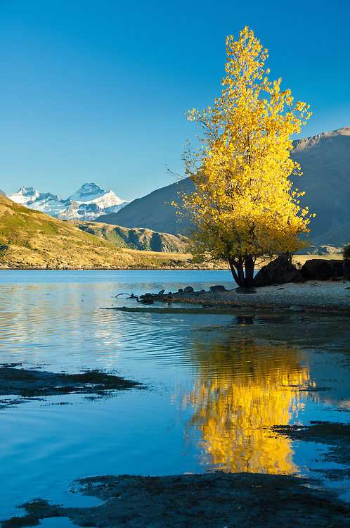 Autumn tree reflected in Lake Wanaka. Mt Aspiriing in the background, South Island, New Zealand - stock photo, canvas, fine art print