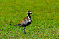 Kolea or Pacific golden plover (Pluvialis fulva) Male in breeding plumage. Winters in Hawaii August through April. Migrates to Alaska to breed.