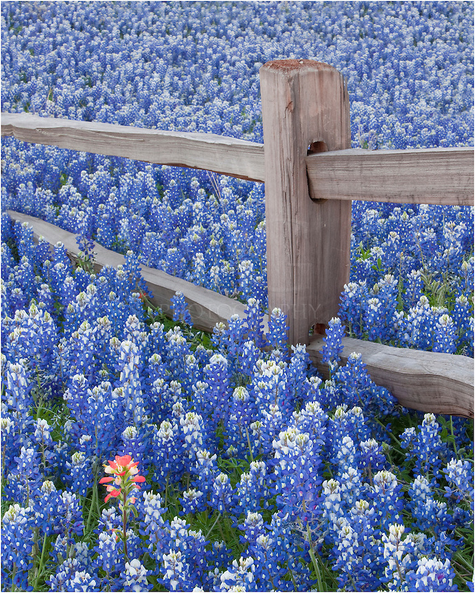 Outside of Llano, Texas, in the Texas Hill Country, I found this fencepost surround by bluebonnets on all sides. I tried to capture this field of flowers from all angles. Among the bluebonnets, there were even some Indian Paintbrush sprinkles in.