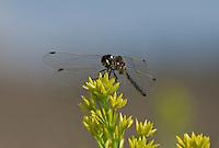 362690017 a wild male black meadowhawk sympetrum danae perches on a plant stem in mono county california