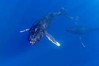 humpback whales, Megaptera novaeangliae, courtship behavior - female being pursued by male, Hawaii, Pacific Ocean