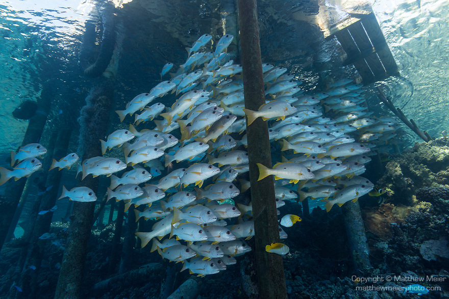 Fakarava Atoll, Tuamotu Archipelago, French Polynesia; a school of onespot snapper fish swimming under the pier at Tetamanu Village