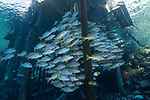 Fakarava Atoll, Tuamotu Archipelago, French Polynesia; a school of onespot snapper fish swimming under the pier at Tetamanu Village