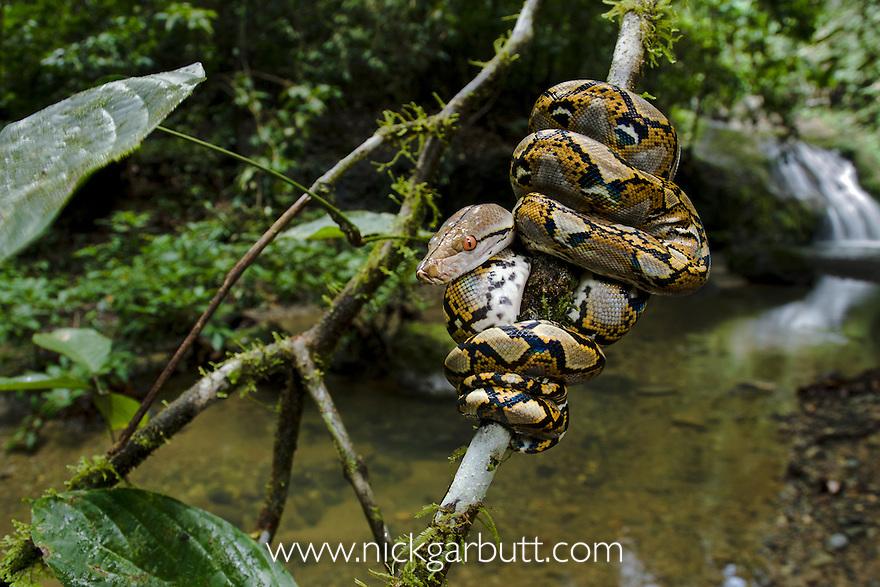 Close up of juvenile Reticulated Python (Python reticulatus) resting ...: nickgarbutt.photoshelter.com/image/I0000i5KVUM7ow4U