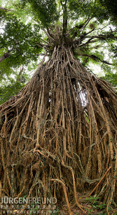 Giant Fig Tree in the Wet Tropics