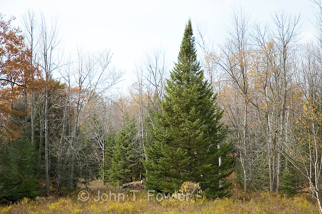 mature balsam fir tree, Abies balsamea