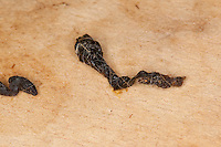 Haselmaus, Losung, Kot, Hasel-Maus, Muscardinus avellanarius, hazel dormouse, common dormouse, Schläfer, Schlafmäuse, Bilche, Bilch, Gliridae, dormice