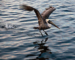 A pelican in mating plumage takes off from the water.  Tarpon Springs, Florida, USA.