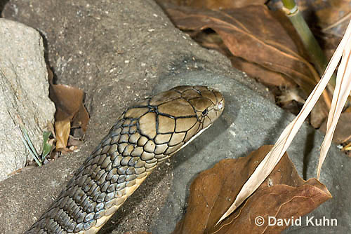 0503-1109  King Cobra (India, Largest Venomous Snake in the World), Detail of Head, Ophiophagus hannah  © David Kuhn/Dwight Kuhn Photography