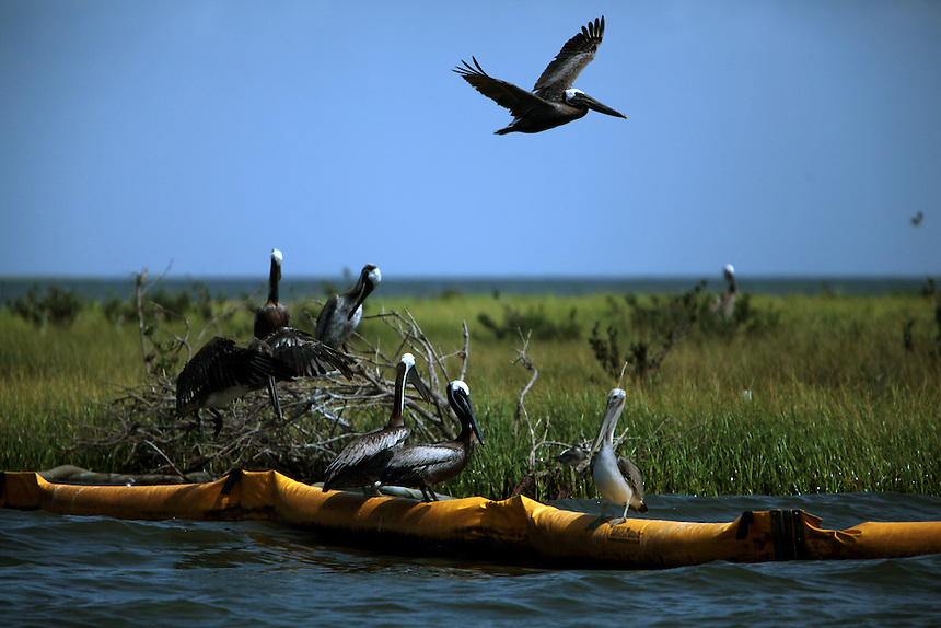 Pelicans sit on boom near California Bay as a tropical storm develops in the Gulf of Mexico, LA on July 20, 2010.