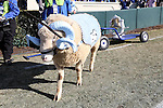 30 November 2013: UNC mascot Ramses walks past the Victory Bell, currently painted in Duke's colors. The University of North Carolina Tar Heels played the Duke University Blue Devils at Keenan Memorial Stadium in Chapel Hill, NC in a 2013 NCAA Division I Football game. Duke won the game 27-25.