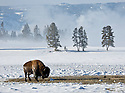 WY00466-00...WYOMING - Bison in Yellowstone National Park.