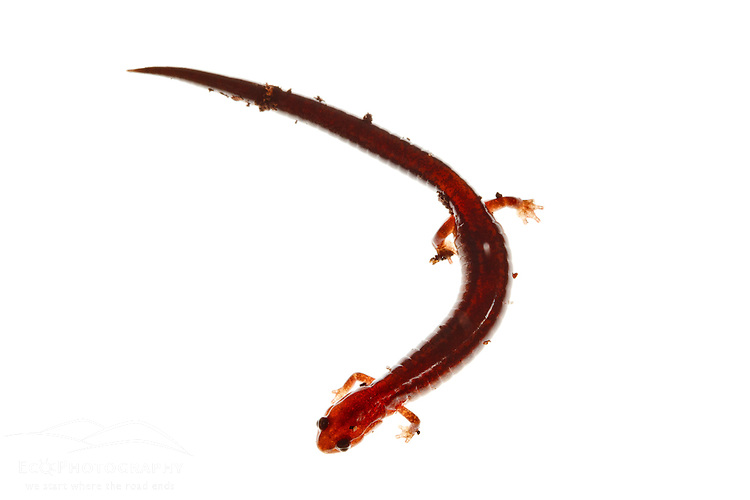 Red-backed salamander. Seacoast Science Center, Rye, NH.