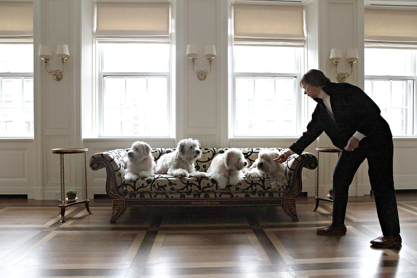 Pat McGregor of Vancouver Dog Training prepares four wheaten terriers for a portrait in an apartment on the Upper East Side of Manhattan on April 5, 2011. ..Danny Ghitis for The New York Times