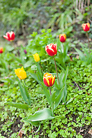 Tulips, Tulipa, spring flowers in the Cotswolds, Oxfordshire, UK