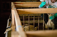 A worker force-feeds a duck at the Hudson Valley Foie Gras farm in Ferndale, USA, 16 March 2006.