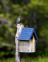 Male northern bluebird, Sialia sialis,  brings in food for nestlings within box