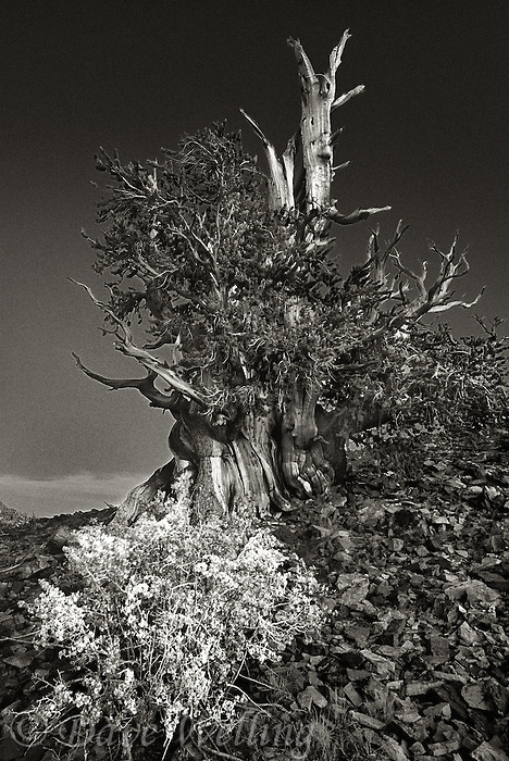 730252040bw bristlecone pine pinus longeava and wildflowers along ridge line at sunrise in the blm protected ancient bristlecone forest in the white mountains of california
