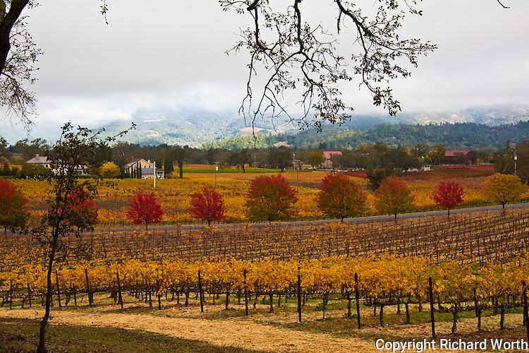 Red, orange, gold and green - vineyards and hills dressed for autumn near St. Helena in the Napa Valley wine country.