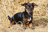Black and tan Jack Russell puppy playing in a bed of hay, England, United Kingdom