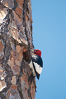 This stunning woodpecker was drilling a series of holes in a stand of slash pines in Wakulla County, Florida.
