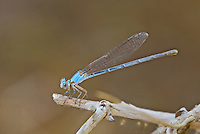 338550020 a wild blue colored unlined female powdered dancer argia moesta perches on a dead stick on topock marsh near five mile landing in havasu national wildlife refuge mojave county arizona united states
