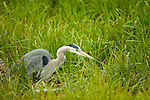 A great blue heron searches for insects in the tall grass.
