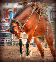 Buckin' Brocno with rider at Rodeo - Arizona