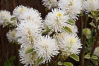 Fothergilla major AGM, in white spring bloom