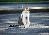 Cabinet meeting arrivals <br /> Downing Street, London, Great Britain <br /> 19th July 2016 <br /> <br /> New members of the Cabinet <br /> arriving ahead of the first cabinet meeting chaired by Theresa May <br /> <br /> <br /> Larry the cat <br /> <br /> Photograph by Elliott Franks <br /> Image licensed to Elliott Franks Photography Services