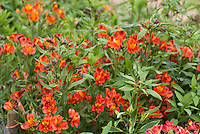 Alstroemeria 'Red Beauty' in red summer flowers