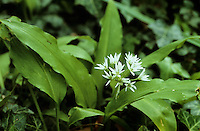 Bärlauch, Bär-Lauch, Allium ursinum, Ramsons, Wood Garlic