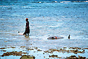 A young boy from Kontu village drags a dead dolphin on the reef shallows next to another dolphin speared out on the reef by the men of the village..Kontu, New Ireland Province, Papua New Guinea;