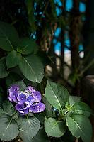 Detail of a purple Hydrangea in a patch of sunlight