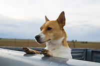 Jack russell looking over the back of a pickup truck