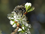 A bee gathering nectar and pollinating the apple tree