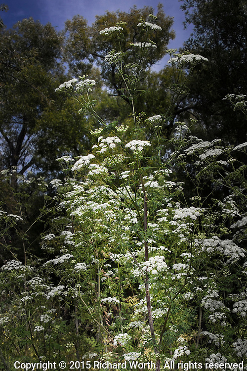 White umbrella-shaped flower clusters on stems with purple, blood-like, splotches identify the poisonous hemlock plants along the path of an urban park.