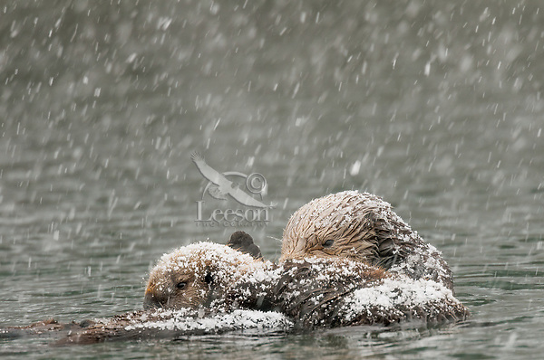 Alaskan or Northern Sea Otter (Enhydra lutris) mom and pup during snowstorm. Pup is nursing.  Alaska.
