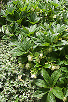 Helleborus x hybridus and Vinca minor