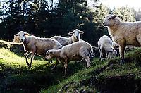 Sheep grazing before sunset.