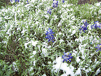Texas Bluebonnets in the Snow