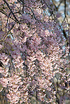 Cherry Blossoms,Eden Park,Cincinnati,Ohio