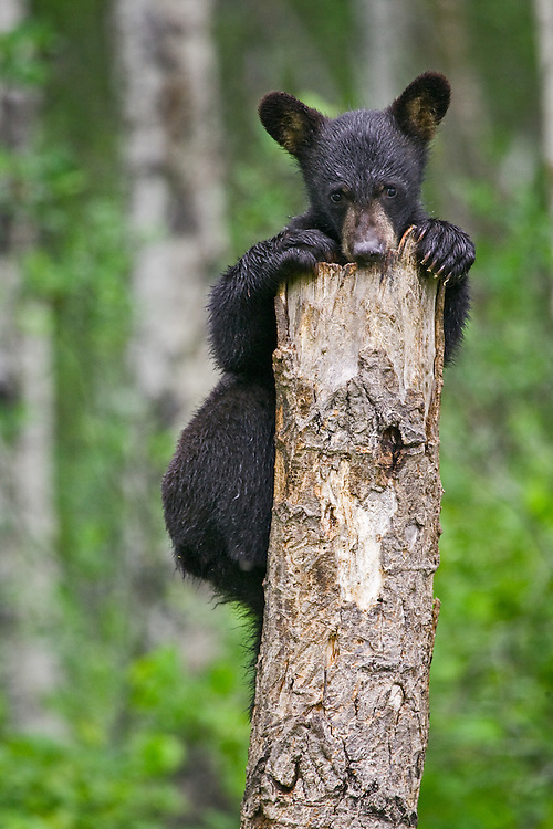 Black Bear cub (Ursus americanus) clinging to the top of a tree stump near Riding Mountain National Park, Manitoba, Canada