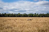 An irrigation system lies in a wheat field near Portage La Prairie, Manitoba, Monday August 17, 2015.