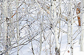 Mountain Lion (Puma concolor) in a snowy Quaking Aspen Grove (Populus tremuloides), Western North America.